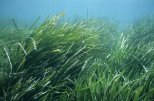 Posidonia oceanica, a Mediterranean endemic species, is one of the best-known as well as most endangered plants in the Mediterranean Sea. It is not an alga but a fiowering plant. Tabarka coast, Tunisia